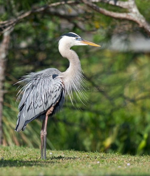 Great Blue Heron, Wakodahatchee Wetlands