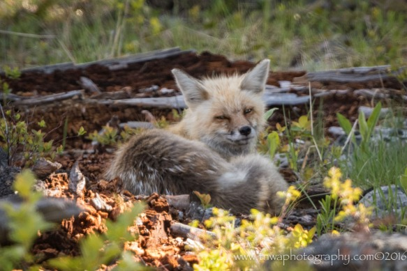 red fox tnwa photography